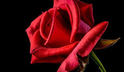 クラフトバンド作品「薔薇のティッシュボックスカバー」の作り方・感想・本・道具をご紹介!
